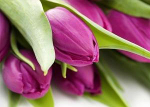 hoa-tulip-04